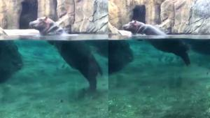 Fiona the Hippo Shows Off Her Speedy New Moves