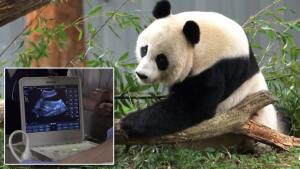Giant Panda Gets Artificially Inseminated