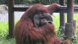 See Orangutan Smoking in Video That's Sparking Animal Activist Uproar