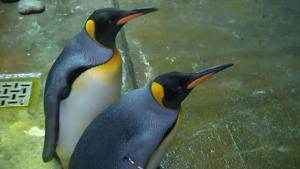 Gay Penguins Steal Baby Chick at Zoo to Keep as Their Own