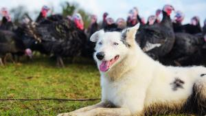 Border Collie Herds 1,400 Turkeys on English Farm in Record Time