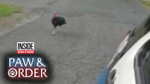 Paw & Order: 'Lurky Turkey' Is in Protective Custody After Chasing Cop Cruiser