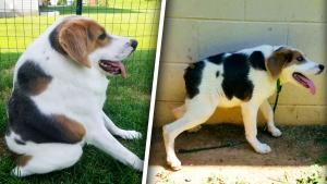 Dog With Short Spine Rescued, Rehabbed to Happiness