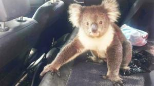 Koala Bear Won't Leave Air-Conditioned Car
