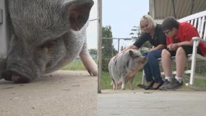 Missouri City Wants to Evict This Family's Emotional Support Pig