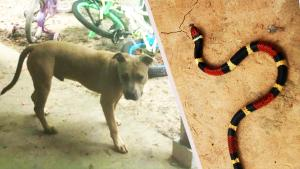 Family Credits 8-Month-Old Pit Bull for Saving Boy's Life From Snake