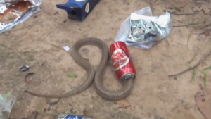 Fearless Rescuers Free Indian Cobra That Gets Head Stuck in Beer Can