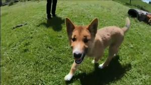 Rare Breed of Dingo on the Verge of Extinction Drops Out of the Sky