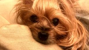 Yorkshire Terrier Allegedly Crushed by FedEx Package Thrown by Delivery Guy