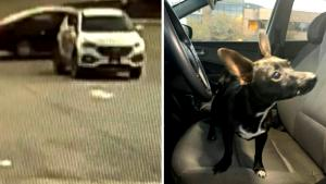 Chihuahua Crashes Car After Somehow Putting SUV in Reverse