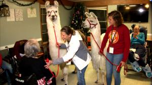 Gentle Giants: Texas Rehab Residents Find Comfort in Therapy Llamas