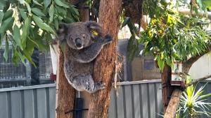 Hospital Wants to Build a Koala 'Ark' For Surviving Animals in Australia