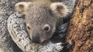 Miami Zoo Renames Baby Koala as Tribute to Austraila Wildfires