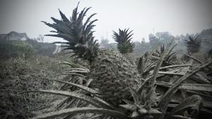 Volcanic Ash Turns Pineapples Grey in the Philippines as Scientists Monitor Taal