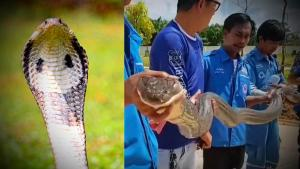 From Hoaxes to Remarkable Rescues: Here Are Our Favorite Cobra Stories