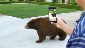 Bear Wandering Neighborhood Draws Crowd Despite Officials' Warnings to Stay Away