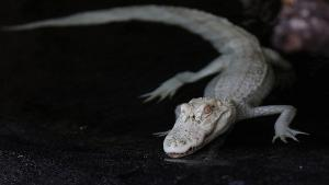 Rare Albino Alligators Find Home at Georgia Aquarium