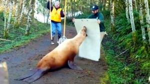 600-Pound Sea Lion Resists Arrest in Washington State