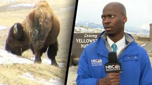 Reporter Bolts During His Standup Because Bison Started Staring at Him