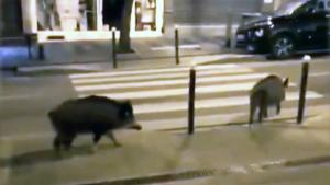 Pigs Are Taking Over the Streets of Paris While Everyone Is Inside
