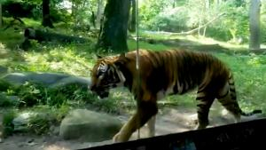 How a Tiger was Tested for Coronavirus at the Bronx Zoo