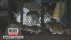 Rats Are Having a Field Day in New York's Empty Streets