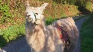 Llama Delivery Service Brings Essential Items to People in Quarantine