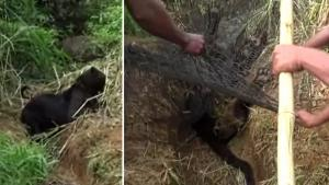 Rare Black Leopard Freed by Rescuers After Getting Caught in Trap