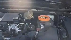 Squirrels, Rats and Other Rodents Take Up Residence in Non-Running Car Engines