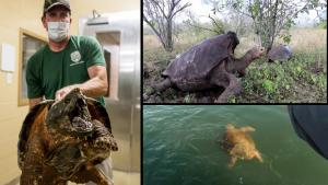 Cop Saves Snapping Turtle Without Losing Fingers and Other Turtle News