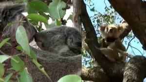 Koalas in Australian State Face Extinction by 2050, Parliament Says