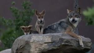 Mexican Wolves, Gorillas and Other Endangered Species Try to Come Back