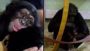 Abandoned Baby Chimpanzee Gets Adopted by New Family in Spain