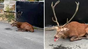 Exhausted Deer Plops Down at Construction Site in Paris