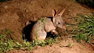 10 Greater Bilbies Freed in Protected Area to Repopulate Endangered Species