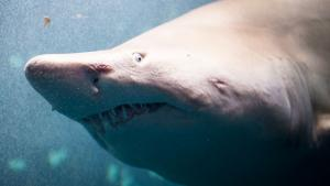 500,000 Sharks Might Be Needed to Create COVID-19 Vaccine