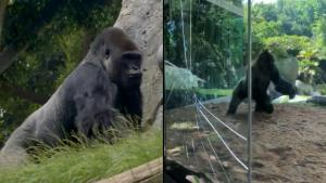 Dueling Gorillas Crack Glass of Enclosure at San Diego Zoo