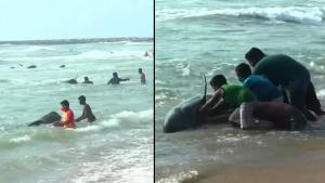 People Rush to Save 100 Whales That Washed Up on Beach in Sri Lanka