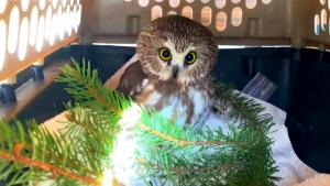 Owl Nursed Back to Health After Being Rescued From Rockefeller Christmas Tree