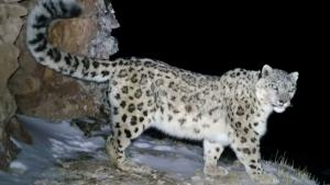 Population of 'Vulnerable' Snow Leopards May Be on the Rise in China