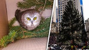 Rockefeller Center Christmas Tree Stowaway Owl 'Rocky' Release Back Into Wild