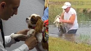 Spaniel Puppy That Was Snatched From Alligator's Jaws Gets Deputized in Florida