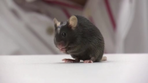 German Scientists' Experiment Enables Paralyzed Mice to Walk Within Weeks