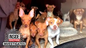 21 Chihuahuas Appear to Be in Distress Living in Broken Down RV