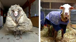 Overgrown Sheep in Australia Loses 70 Pounds of Wool After Rescuers Take Him In