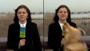 Dog Steals a TV Reporter's Microphone on Live Television