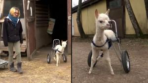 Orphaned Baby Alpaca Happily Roams Farm in Germany With Custom Wheelchair
