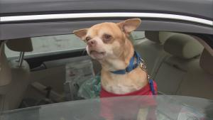Is This Man-Hating, Cheeseburger-Eating Chihuahua the Worst Dog in America?