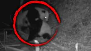 Giant Pandas Caught on Camera in Vicious Fight in China's Sichuan Province