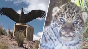 South American Officials Re-release Endangered Animals Back into the Wild